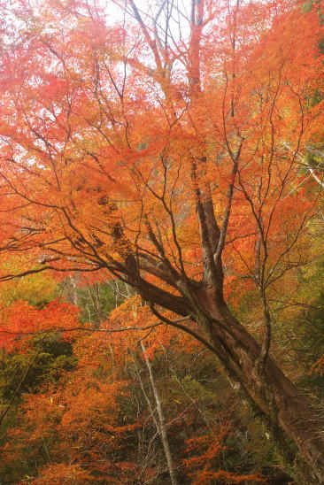 安堵山付近の紅葉 Autumn tints along Higashi-no-Kawa River
