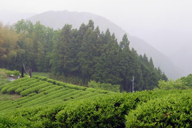 伏拝の茶畑 Fushiogami Tea plantation