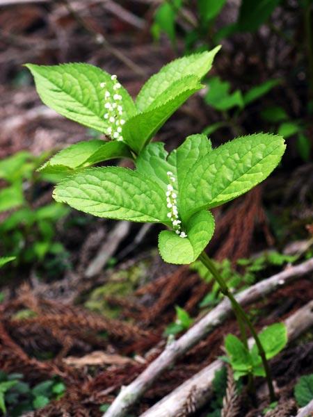 二人静(Ftarishizuka) 林等に生える多年草で春に花を付けます