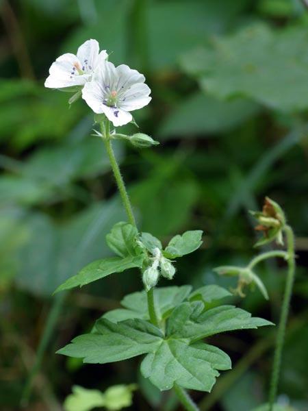 ゲンノショウコ(Gennosyouko) その昔、飢饉の際に食した所たちまち腹具合が良くなった事から 薬草として重宝されていました。
