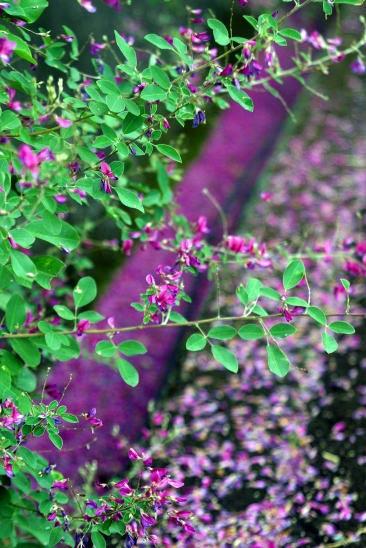 萩の花 (Japanese bush clover) 秋の七草のひとつで、古くから親しまれ、 万葉集にもその名が詠まれました。