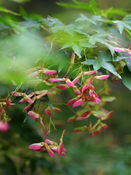 イロハカエデの実(Irohakaedenomi) 日本に最も多く自生するカエデ属の植物で紅葉の代表種です。