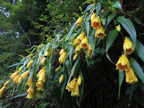 キイジョウロウホトトギス(Kiijourouhototogisu) 鈴の様な形でつややかな黄色の花弁を持ち、山の貴婦人と呼ばれています