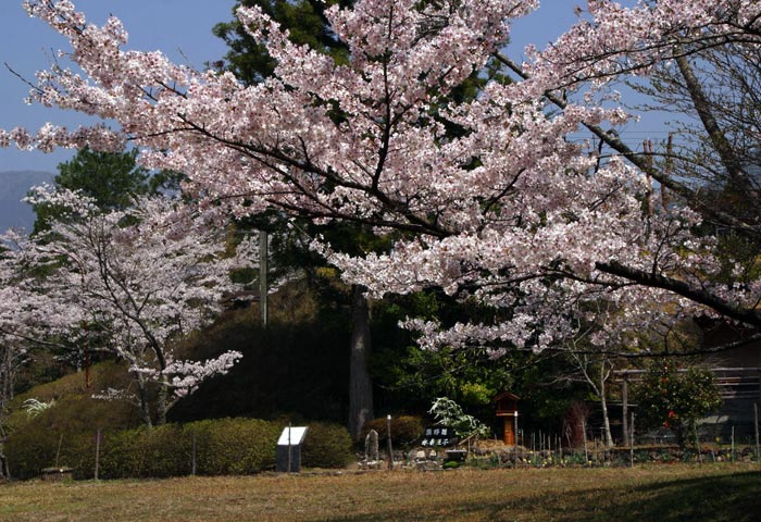 水呑王子 Cherry trees at Mizunomi-Oji