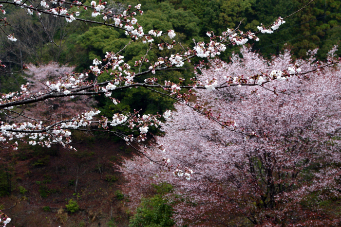 七越峰 Cherry trees at Mount Nanakoshi