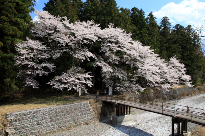 大斎原 Cherry trees at Ohyunohara