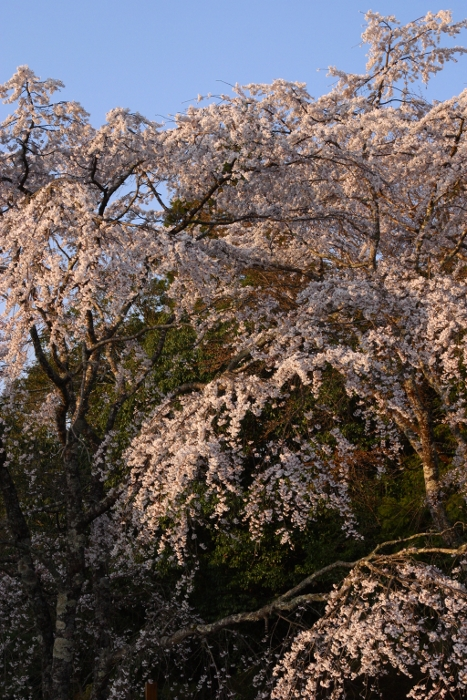 伏拝王子 Cherry trees at Fusiogami-oji