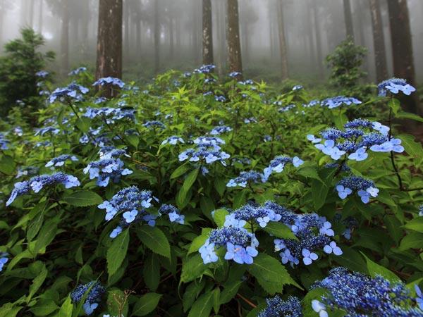 山紫陽花(Yamaajisai) 林や沢沿いに生えています